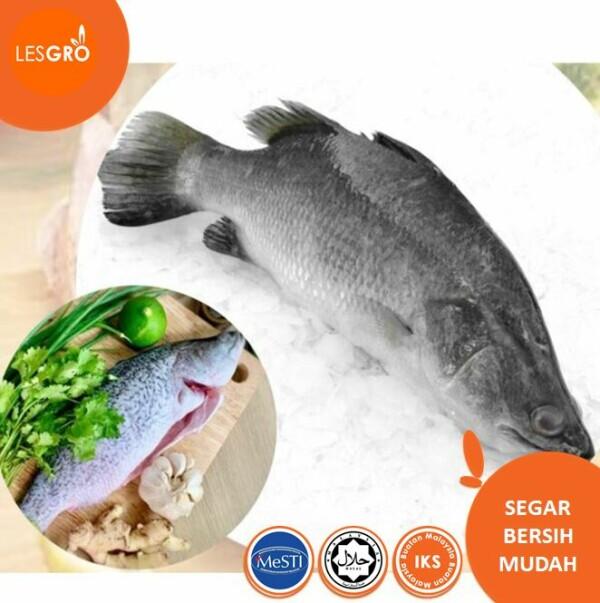Ikan Siakap  - Lesgro