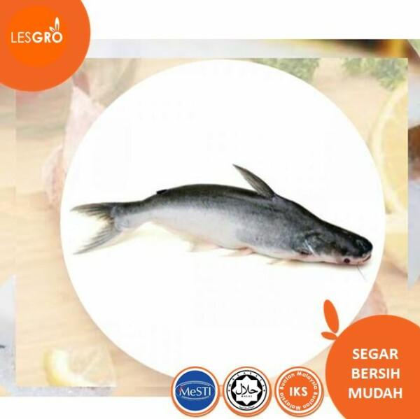 Ikan Mayong - Lesgro